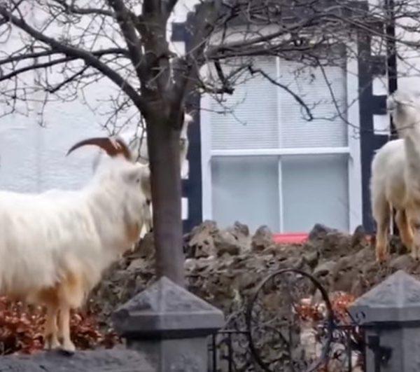 Βρετανία στα χρόνια το κορονοϊού – Κατσίκες κατέλαβαν πόλη στην Ουαλία! (βίντεο)